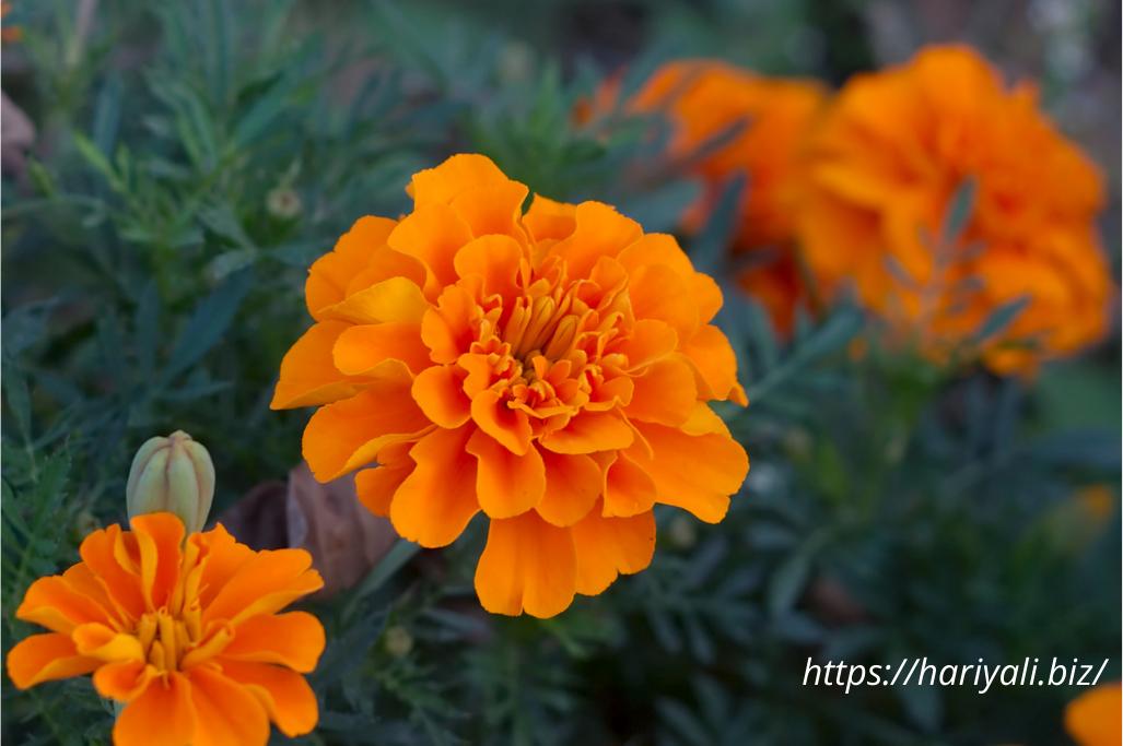 Marigold/Genda Flower